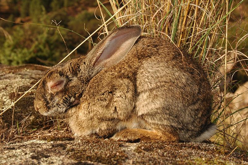 conejo1
